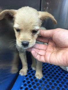 Animal ID\t35289146 \r\nSpecies\tDog \r\nBreed\tChihuahua, Short Coat\/Mix \r\nAge\t2 months 6 days \r\nGender\tFemale \r\nSize\tSmall \r\nColor\tTan \r\nSpayed\/Neutered\t \r\nSite\tCity of El Paso, Animal Services \r\nLocation\tFeline \r\nOn Hold\t \r\nIntake Date\t5\/6\/2017 \r\n