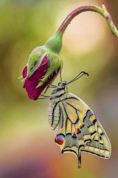"""The post """"Most Beautiful Butterfly Pictures & Wish Letter"""" appeared first on Pink Unicorn Bilder Beautiful Creatures, Animals Beautiful, Cute Animals, Butterfly Photos, Butterfly Art, Butterfly Lighting, Butterfly Chrysalis, Butterfly Mobile, Paper Butterflies"""