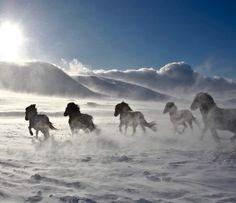 Icelandic horses by Stefán Héðinsson