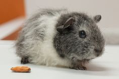 Guineapig by ankewill, via Flickr