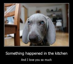Literally Nestle. In every room. Every day. Weimaraner Puppies, Dogs And Puppies, Weimaraner Funny, Doggies, Puppies With Blue Eyes, Guilty Dog, Puppy Dog Eyes, Dog Cat, Cute Funny Dogs
