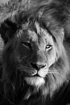 King of the jungle Beautiful Cats, Animals Beautiful, Cute Animals, Lion Love, Carnivore, Lion Of Judah, Bad Cats, Spirit Animal, Pet Portraits