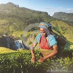 Indigenious Sri Lankan Tea Picker Agricultural Farm Concept - Download From Over 39 Million High Quality Stock Photos, Images, Vectors. Sign up for FREE today. Image: 59459986