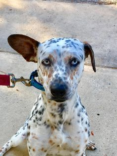 Meet Nena, an adoptable Pointer looking for a forever home. If you're looking for a new pet to adopt or want information on how to get involved with adoptable pets, Petfinder.com is a great resource.