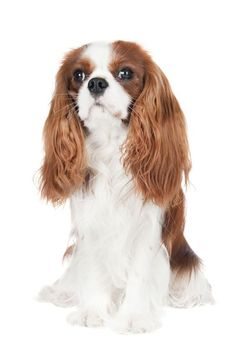 10 Reasons Why You Should Never Own Cavalier King Charles Spaniels (SARCASM)