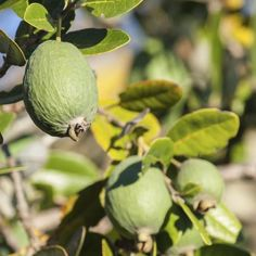 Pineapple guava fruit growing on a Feijoa tree. Guava Fruit Tree, Pineapple Guava Tree, Tree Pruning, Different Fruits, Mediterranean Garden, Harvest Time, New Adventures, Shrubs, Fun Facts