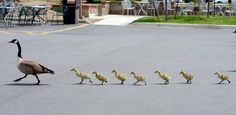 Goose takes goslings on tour of east Boulder