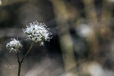 Estio - flores de la Península Ibérica