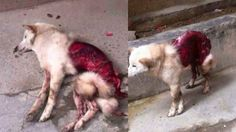 Dog skinned alive in Guangdong province! Demand animal rights in China! | YouSignAnimals.org   China, A BRANCH OF HELL WITH ALL ITS CRUELTY Demons, HOLOCAUST OF ANGELS INNOCENTS, join to us.