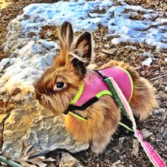 Jealous...tried a few times to get my bunn into this same harness and he had none of it. Someday I'll have an adventurous outdoorsebunny. :)
