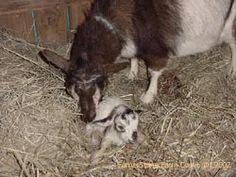 CornerStone Farm-Nigerian Dwarf Goat Care