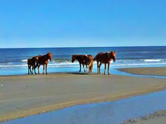 Wild Horses At Corolla Beach North Carolina~I think this is what got me to read Misty of Chincoteague  by Marguerite Henry