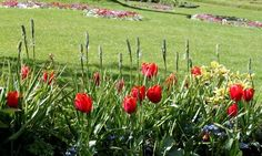 Тюльпаны Кулер Кардинал