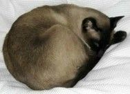 Types of Siamese cats - how to identify the different kinds  Seal point Siamese…
