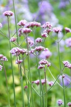 Who doesn't dream of a garden overflowing with delightful, long-flowering plants? Perennials in the garden make this dream come true. Edible Plants, Edible Flowers, Edible Garden, Gaura, Helichrysum Italicum, Dried Lavender Flowers, Flower Garden Design, Hardy Plants, Gardens