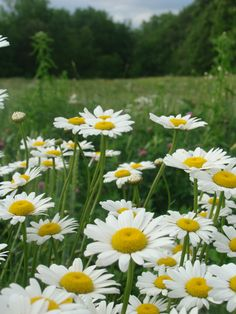 Daisies, that's what we pick every June at Saaremaa.