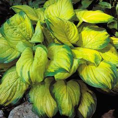 Stained Glass Hosta (Plantain Lily) perennial plants for fall planting. A vibrant gold and green hosta that won't fade in the sun. Low-maintenance plants are Guaranteed to Grow in your garden. Hosta Plants, Shade Perennials, Shade Plants, Garden Plants, Jardins D'hostas, Hosta Care, Plantain Lily, Hosta Varieties, Vegetable Garden