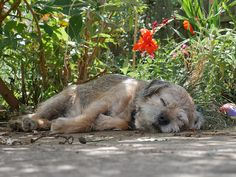 Murphy enjoying some shade on a hot Ely summers day Border Terrier Puppy, Terrier Dogs, Terrier Mix, Fluffy Puppies, Dogs And Puppies, Puppies Tips, Doggies, Funny Dogs, Cute Dogs