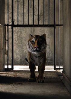 Imágenes animadas de Tigres como estas de la película La Vida de Pi.