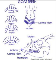 Goat teeth ages, and diagram