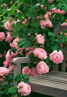 roses garden care Latest No Cost rose garden bench Strategies Flower care now is easier compared to anyone thinkyou can now improve them successfully. Grow the flowers in . Beautiful Roses, Beautiful Gardens, Pink Roses, Pink Flowers, Tea Roses, Exotic Flowers, Yellow Roses, Shrub Roses, Garden Shrubs