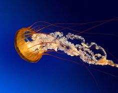 Pintura acrílica León coloridas medusas 8 de 10 en