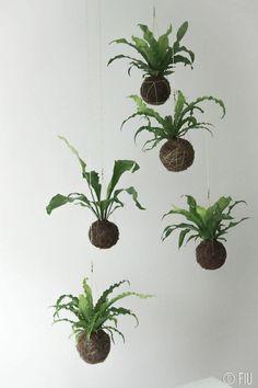 #FIU #kokedama #hanging plants #Portugal Order to fiu.jardimsuspenso@gmail.com