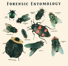 Entomology is the study of insects.The insects can play an important role in crime-identification in a criminal case and the science de. Forensic Psychology, Forensic Science, Life Science, Science And Nature, Forensic Toxicology, Forensic Anthropology, Biological Anthropology, Third Grade Science, Teaching Biology