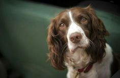 Dog Gifts From Zazzle: English Springer Spaniel Photograph