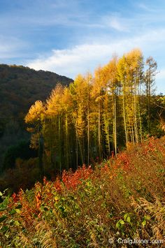Autumn colours of deciduous Pine trees at Barbadoes Hill, Tintern in the Wye Valley, Wales│Craig Joiner Photography