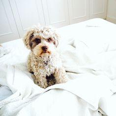 Weekend puppy cuddles #bolonka