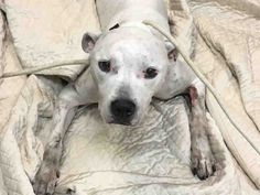 Manhattan Urgent Shelter DogsAs of October 30th, 2016, Urgent will not be adding new animals to this folder. Instead, we will be offering direct links to the NYC ACC's website, where you can view A