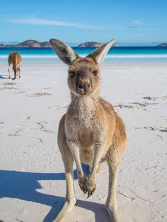 """Just Being A Beach Bum!""  Lucky Bay, Near Cape Arid, Western Australia."