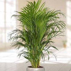 Camedórea-elegante Essa espécie de palmeira não passa de dois metros de altura e fica ótima com plantio em vasos. Como gosta de umidade, é preciso regar frequentemente, até 4 vezes por semana. Deve ser mantida longe da luz direta do sol. Ambientes à meia-sombra ou sem luz são preferíveis. | R$ 20,00, a muda.