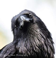 Your daily raven by Wendy Davis Photography: