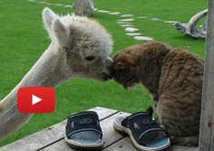 Bottle Fed Alpaca Grew Up With Cats