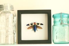 Real Jewel Beetle Framed Insect Display by BugUnderGlass on Etsy, $49.99