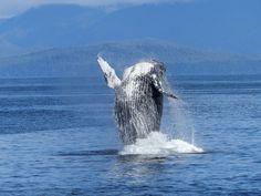 Marino Ballena National Park Minke Whale, Humpback Whale, Fondation Brigitte Bardot, Renaissance, Le Zoo, Elephant Seal, Marine Ecosystem, Animal Medicine, Equador