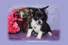 "Fairytailpuppies ""where pets are family too - VIVA"