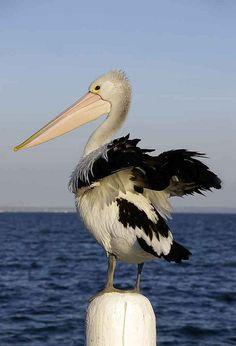 pelican-pose by chezza61 on Flickr.#Cheryl Ribeiro#Bird#Photography
