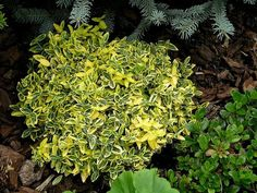 Euonymus fortunei Emerald 'n' Gold. I grow Emerald 'n' Gold in my garden and love it. Best Shrubs For Shade, Shade Shrubs, Apple Tree Yard, Garden Shrubs, Landscaping Software, Foliage Plants, Large Plants, Front Yard Landscaping, Landscaping Ideas