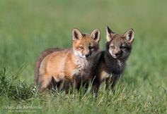 Double cuteness 365 days fox marathon Day 160 #365daysfoxmarathon #photography #cute