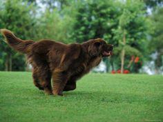 Brown Newfoundland Dog Running Valokuvavedos tekijänä Adriano Bacchella AllPosters.fi-sivustossa