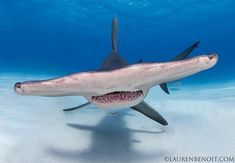 All Pictures, Sharks, Animals, Shark, Animaux, Animal, Animales, Animais