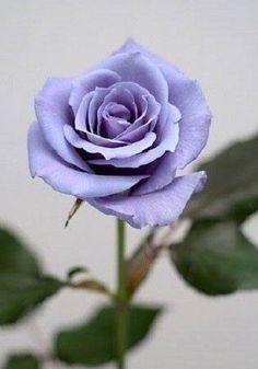 5-BLUE-ROSE-Rosa-Bush-Shrub-Perennial-Flower-Seeds-Gift-Comb-S-H
