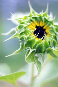 淡彩 sunflower -- by viburnum on Flicker
