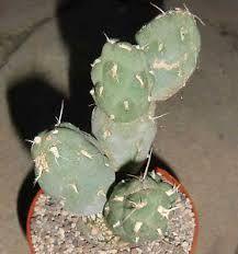Cumulopuntia chichensis