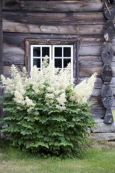 """Til gården er vi på utkikk etter planter og stauder fra """"oldemors tid"""". Jeg har lyst at det vesle tunet skal flyte over med gamle vekste..."""