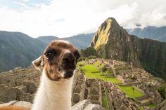 Soubor:Machu Picchu lama 04.jpg