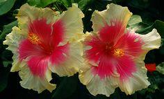 Tropical Hibiscus 'Sugar Kisses'